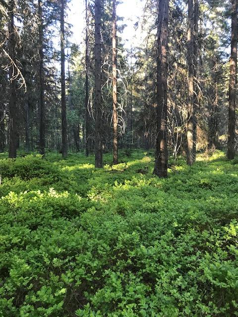 Rauhallinen metsä